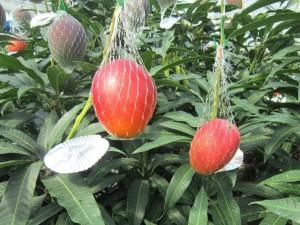 真っ赤に色づいた完熟「かごしまマンゴー」