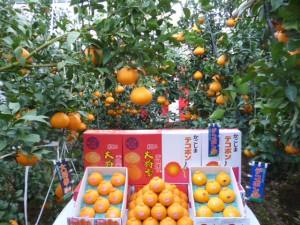 12月に出荷される大将季は、ビニルハウスの中で栽培されています。
